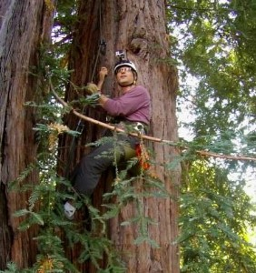 Way up in a redwood