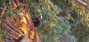 Garth climbing a giant redwood